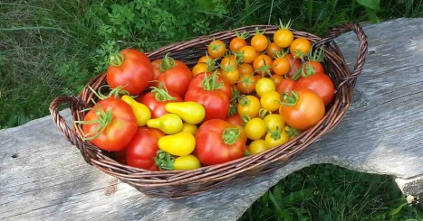 basket of tomatoes